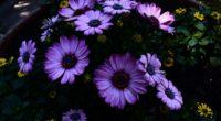 osteospermum flowerbed blooming 4k 1540064967 200x110 - osteospermum, flowerbed, blooming 4k - osteospermum, flowerbed, blooming