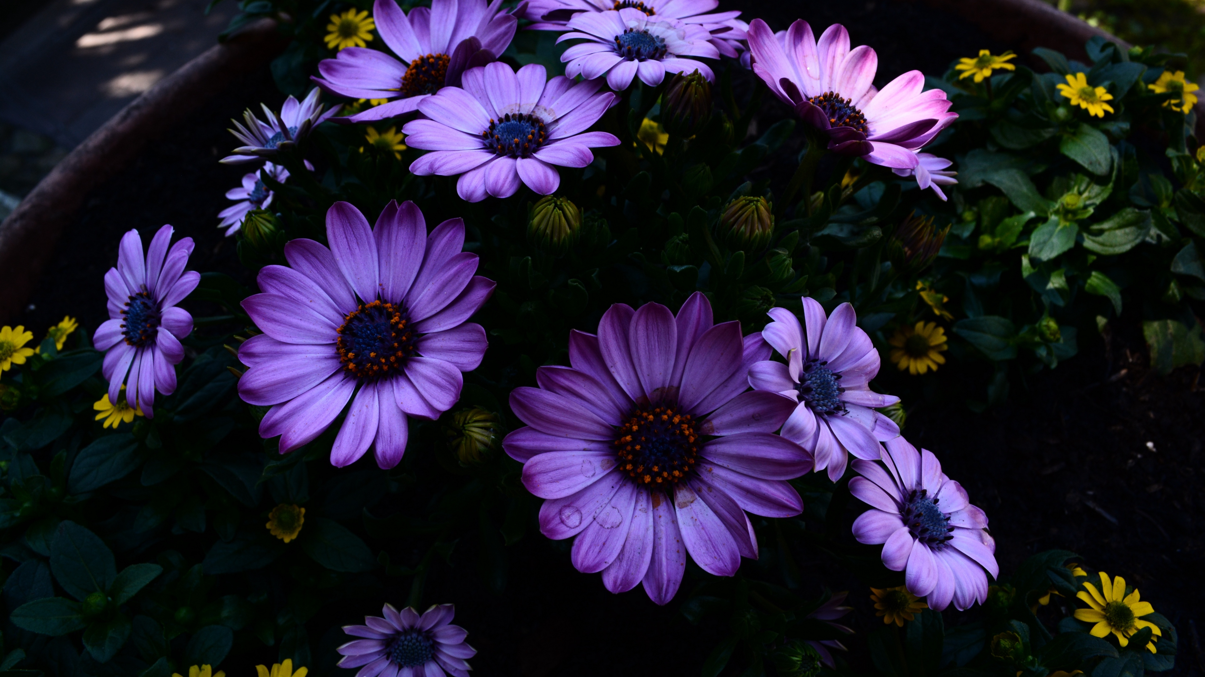 osteospermum flowerbed blooming 4k 1540064967 - osteospermum, flowerbed, blooming 4k - osteospermum, flowerbed, blooming