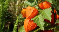 physalis berries twig 4k 1540065034 200x110 - physalis, berries, twig 4k - twig, physalis, berries