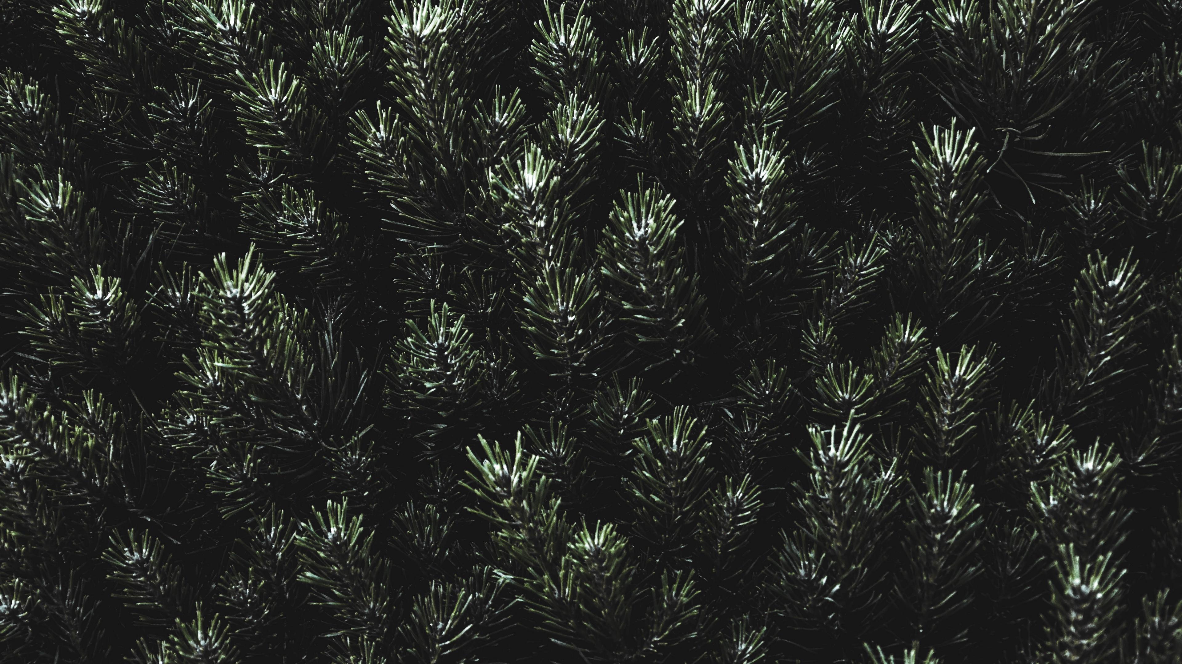 pine needles branches green 4k 1540575116 - pine, needles, branches, green 4k - Pine, needles, branches