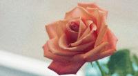 pink rose 4k 1540134797 200x110 - Pink Rose 4k - rose wallpapers, pink wallpapers, nature wallpapers, hd-wallpapers, 5k wallpapers, 4k-wallpapers