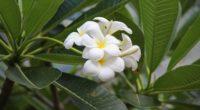 plumeria bloom snowy green buds 4k 1540064176 200x110 - plumeria, bloom, snowy, green, buds 4k - Snowy, plumeria, Bloom