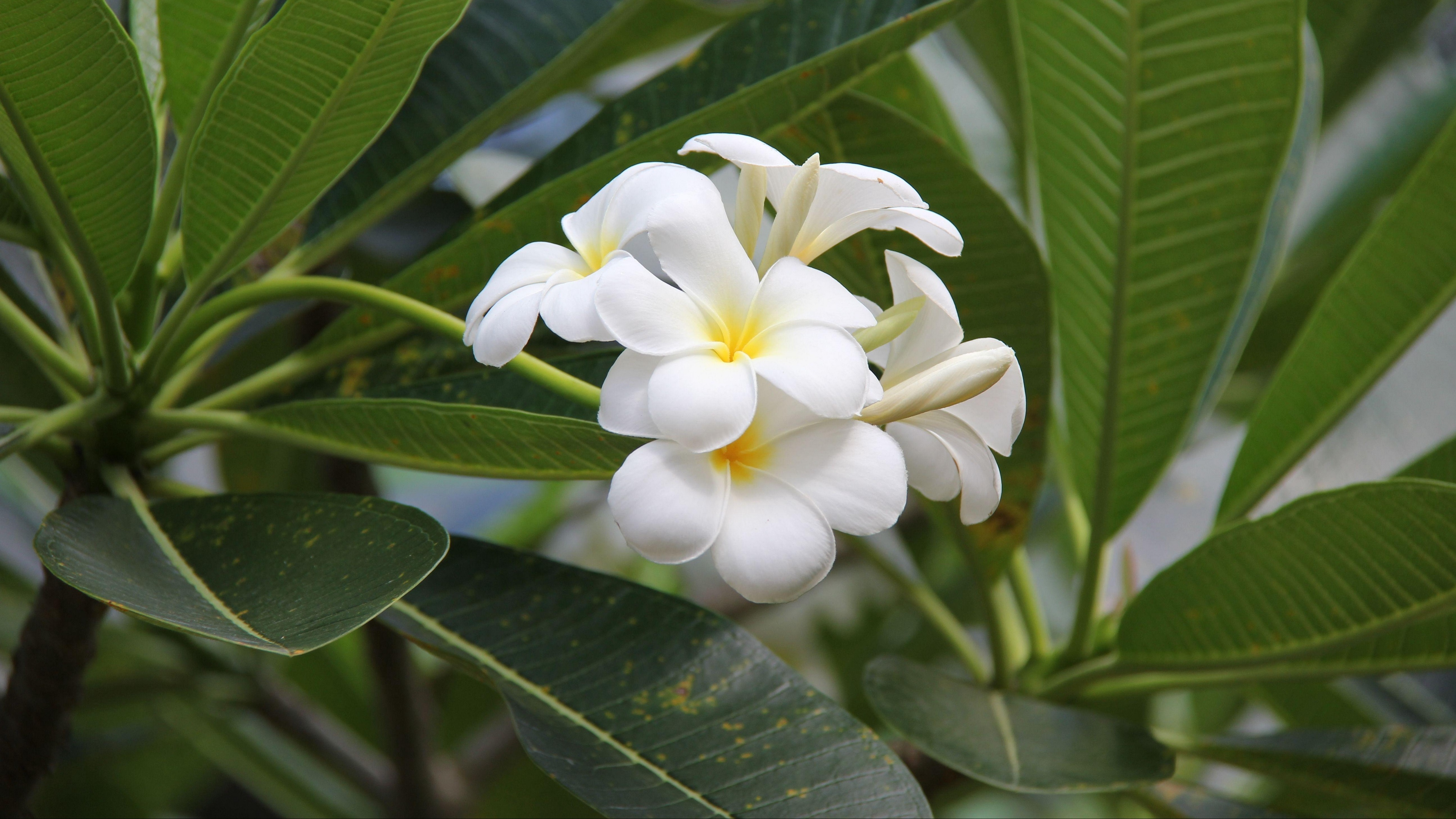 plumeria bloom snowy green buds 4k 1540064176 - plumeria, bloom, snowy, green, buds 4k - Snowy, plumeria, Bloom
