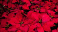 poinsettia flowers red leaves plant 4k 1540064512 200x110 - poinsettia, flowers, red, leaves, plant 4k - red, Poinsettia, Flowers