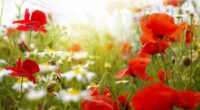 poppies daisies blur sky field clouds sun 4k 1540065161 200x110 - poppies, daisies, blur, sky, field, clouds, sun 4k - Poppies, Daisies, Blur
