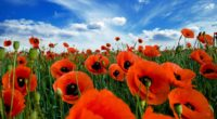 poppies field sky clouds summer greens 4k 1540065059 200x110 - poppies, field, sky, clouds, summer, greens 4k - Sky, Poppies, Field