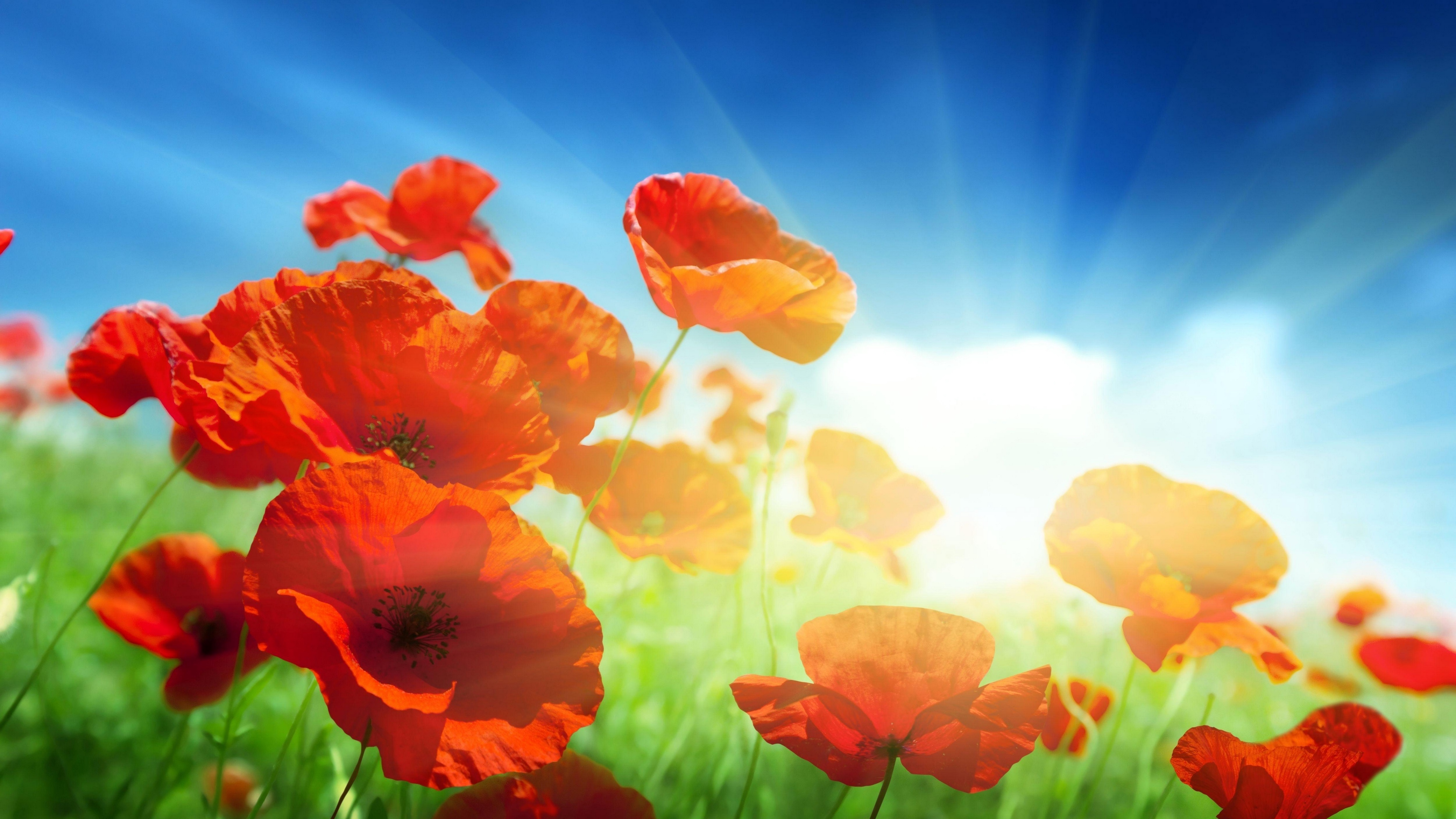poppies field sky sun rays light 4k 1540064799 - poppies, field, sky, sun, rays, light 4k - Sky, Poppies, Field