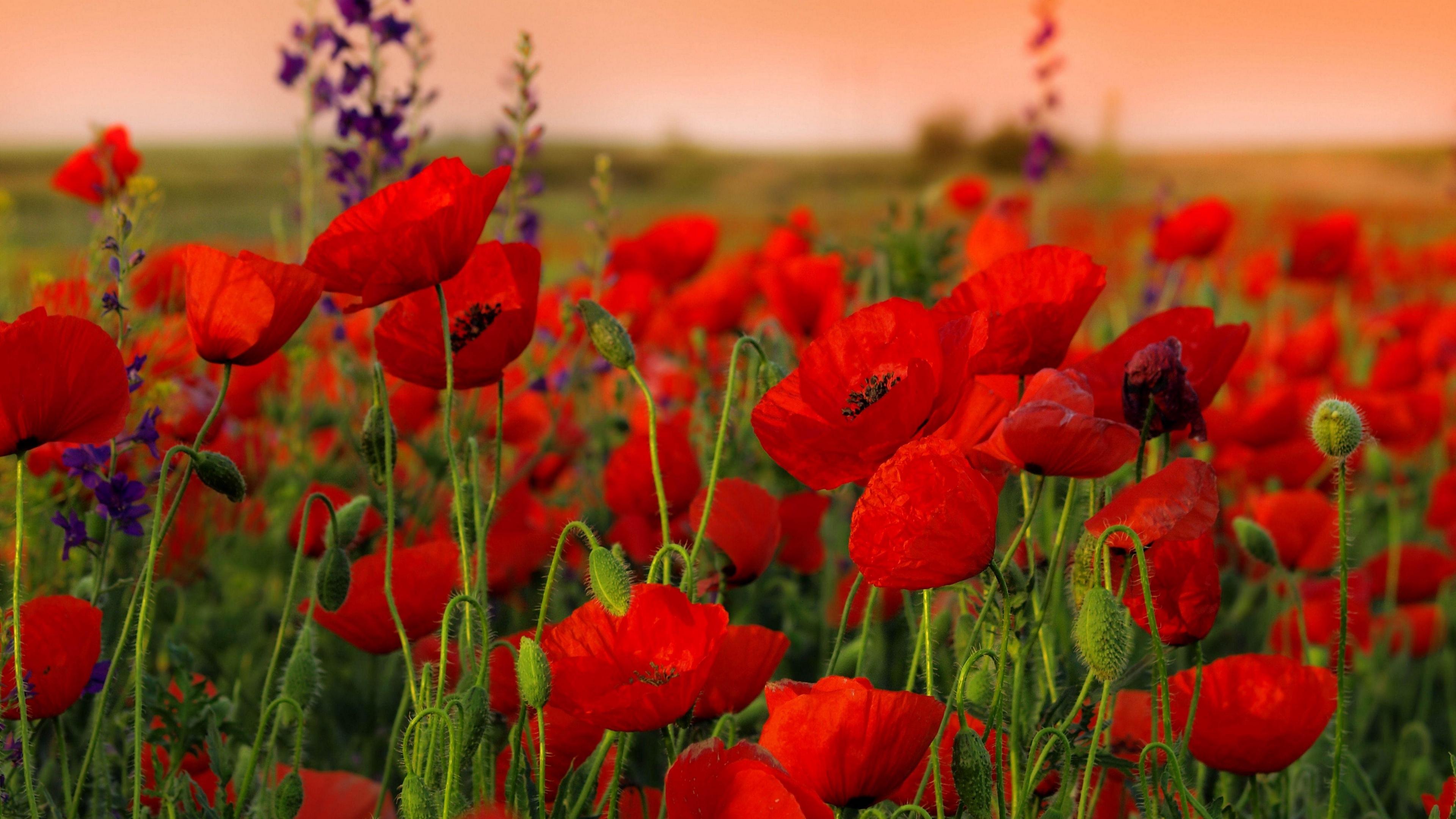poppies flowers field sharpness summer 4k 1540065046 - poppies, flowers, field, sharpness, summer 4k - Poppies, Flowers, Field