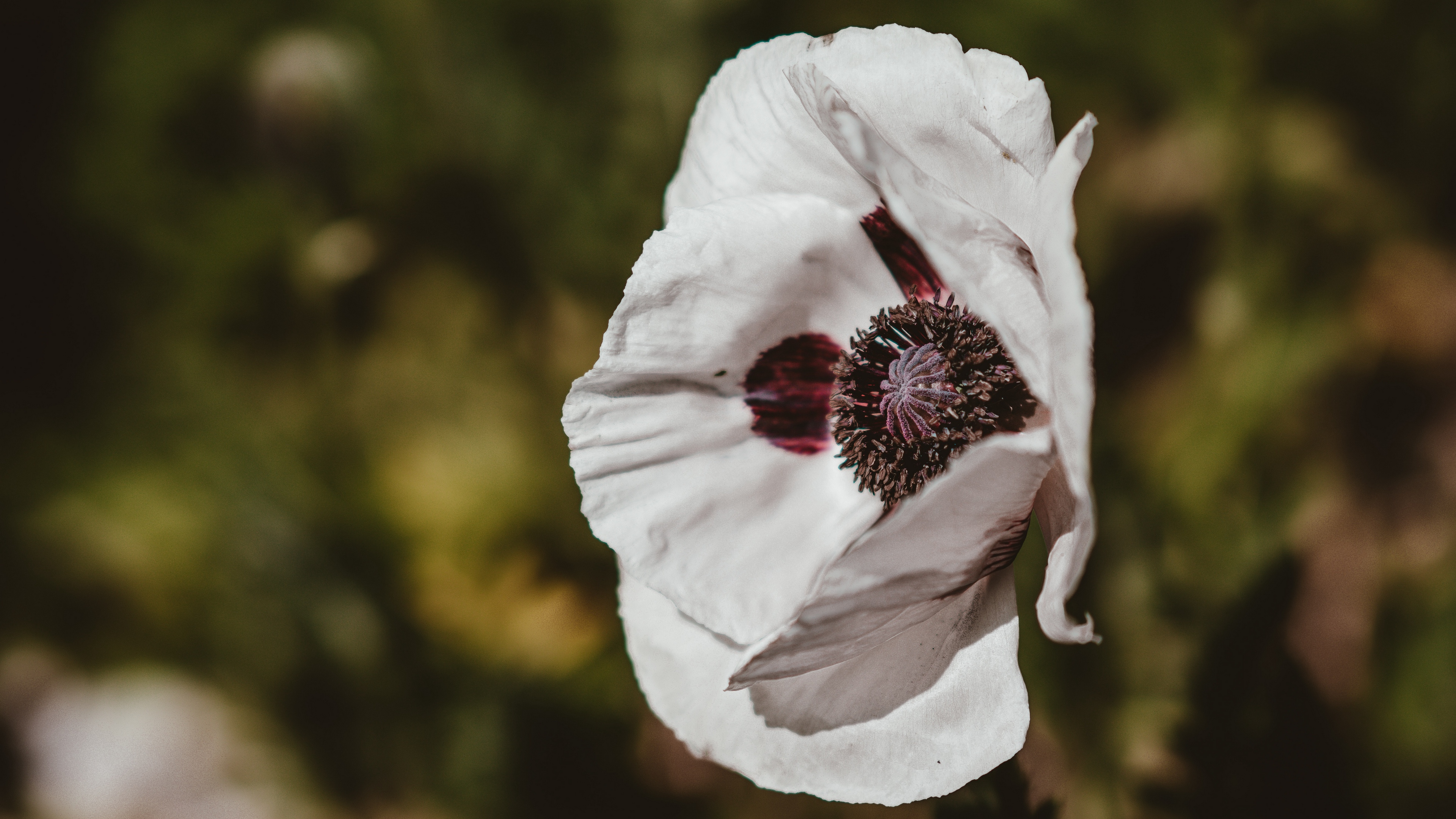 poppy flower white blur 4k 1540064110 - poppy, flower, white, blur 4k - white, Poppy, flower