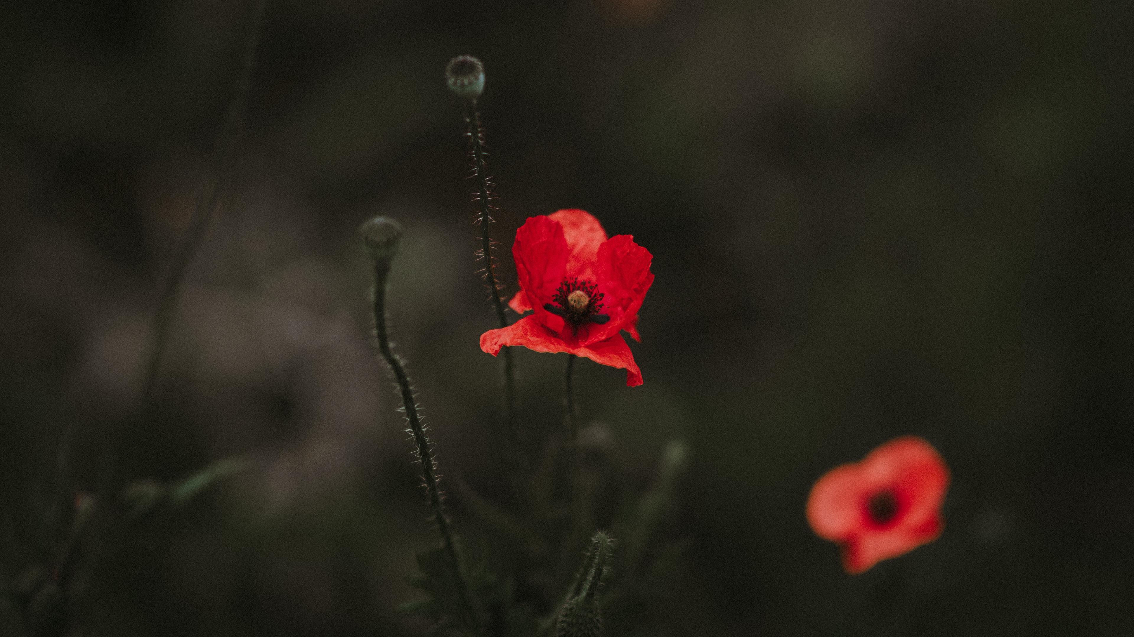 poppy red blur bloom flowerbed 4k 1540064495 - poppy, red, blur, bloom, flowerbed 4k - red, Poppy, Blur