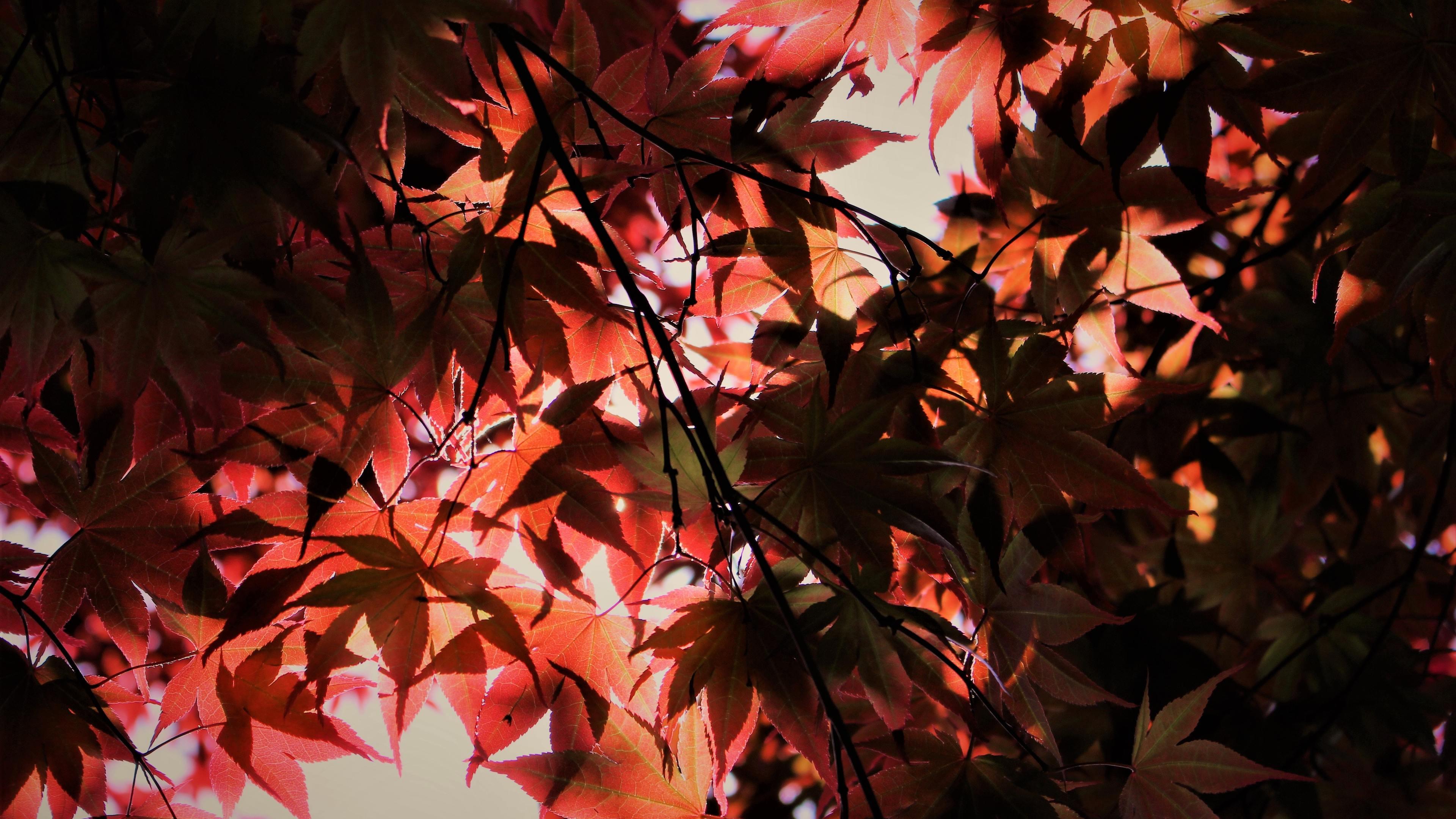 red autumn season leaves 4k 1540141090 - Red Autumn Season Leaves 4k - season wallpapers, red wallpapers, nature wallpapers, leaves wallpapers, hd-wallpapers, autumn wallpapers, 5k wallpapers, 4k-wallpapers
