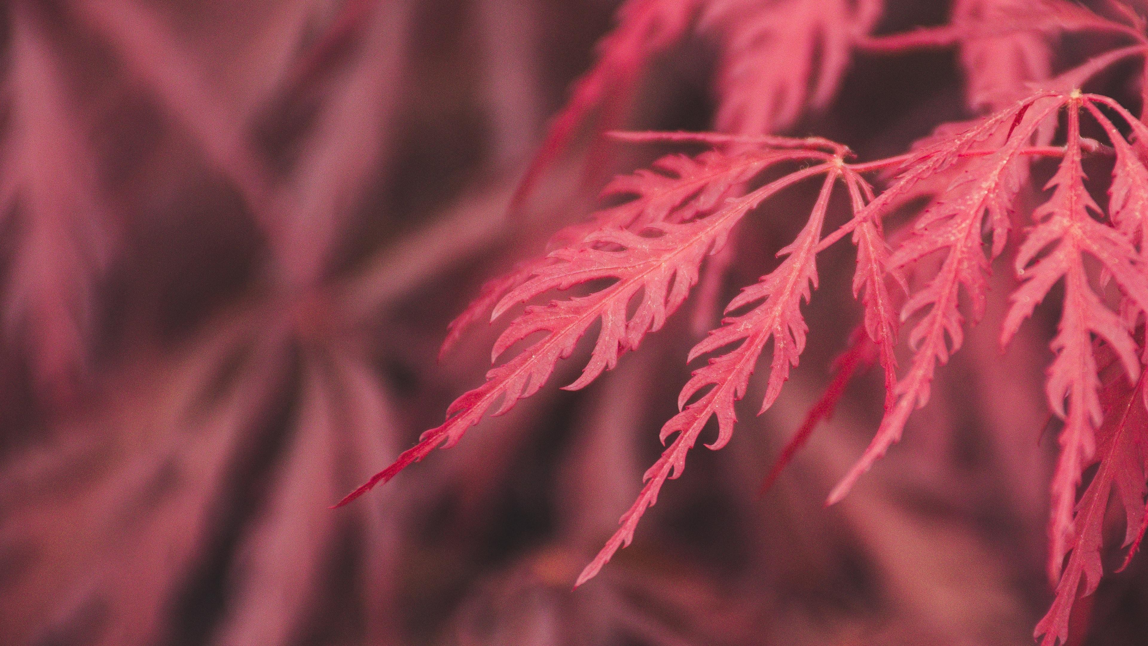 red leaf macro 4k 1540141123 - Red Leaf Macro 4k - red wallpapers, photography wallpapers, nature wallpapers, macro wallpapers, leaf wallpapers, hd-wallpapers, 4k-wallpapers