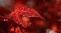 red leaf macro 5k 1540133559 200x110 - Red Leaf Macro 5k - red wallpapers, photography wallpapers, nature wallpapers, macro wallpapers, leaf wallpapers, hd-wallpapers, 5k wallpapers, 4k-wallpapers