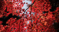 red leaves tree close up 4k 1540135287 200x110 - Red Leaves Tree Close Up 4k - trees wallpapers, tree wallpapers, red wallpapers, nature wallpapers, leaves wallpapers, hd-wallpapers, 5k wallpapers, 4k-wallpapers