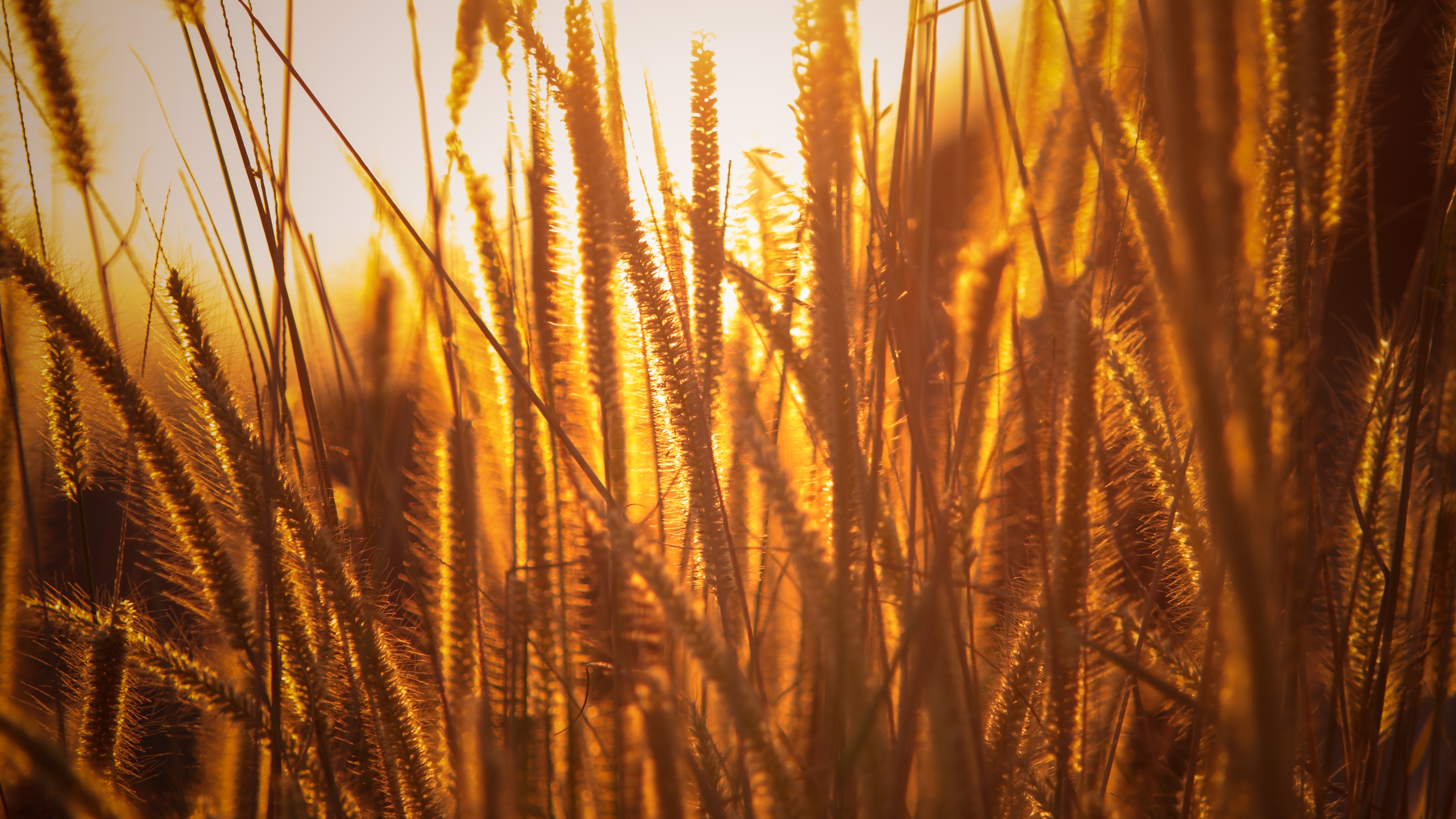 rice agriculture field golden hour grass 4k 1540136514 - Rice Agriculture Field Golden Hour Grass 4k - nature wallpapers, hd-wallpapers, grass wallpapers, field wallpapers, 5k wallpapers, 4k-wallpapers