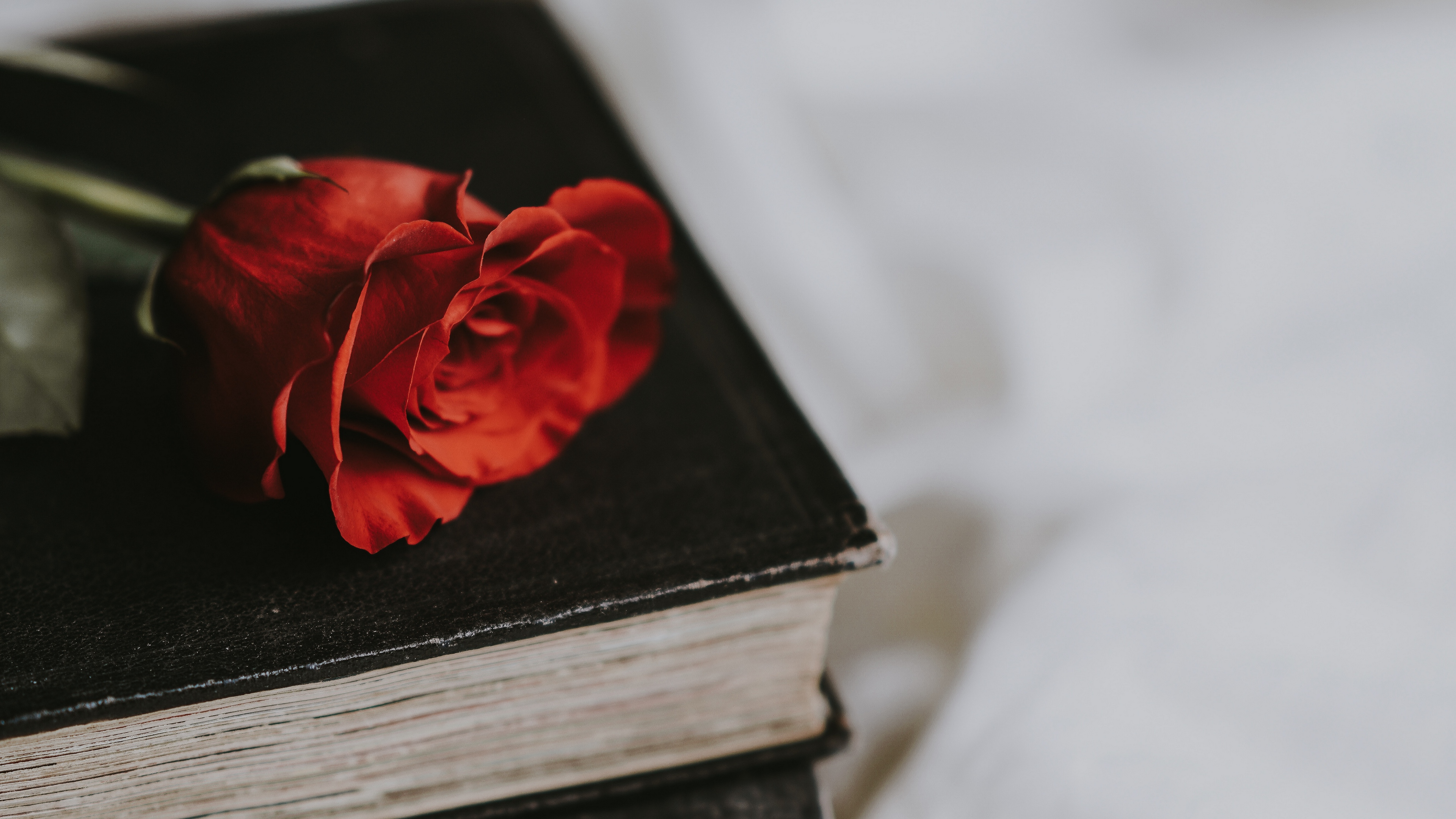 rose book flower blur 4k 1540064953 - rose, book, flower, blur 4k - Rose, flower, Book