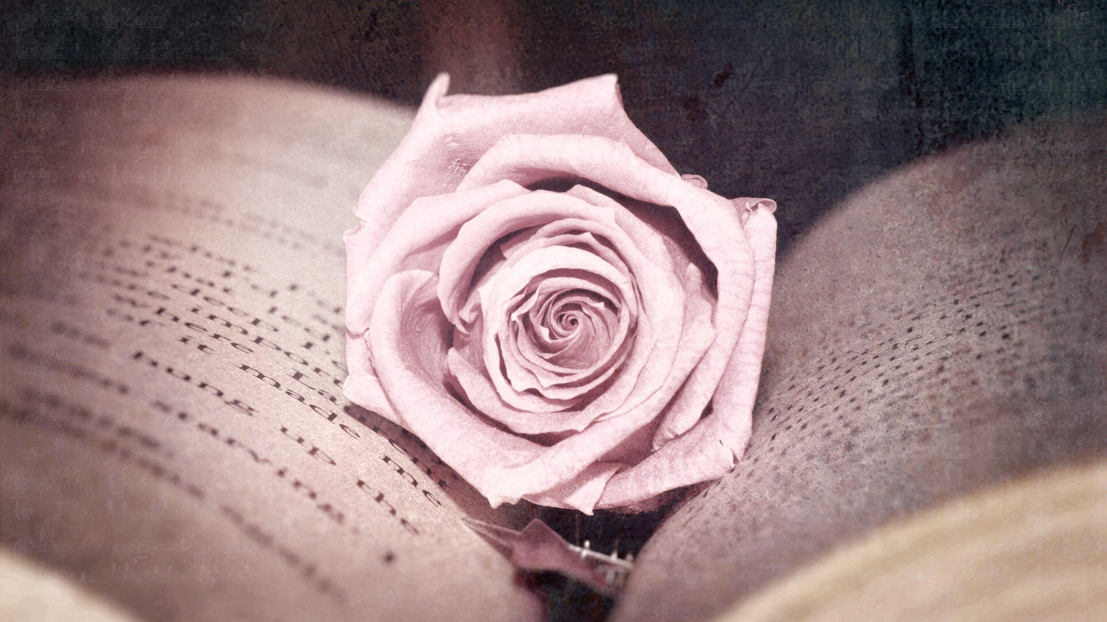 rose bud book close up 4k 1540064293 - rose, bud, book, close-up 4k - Rose, bud, Book