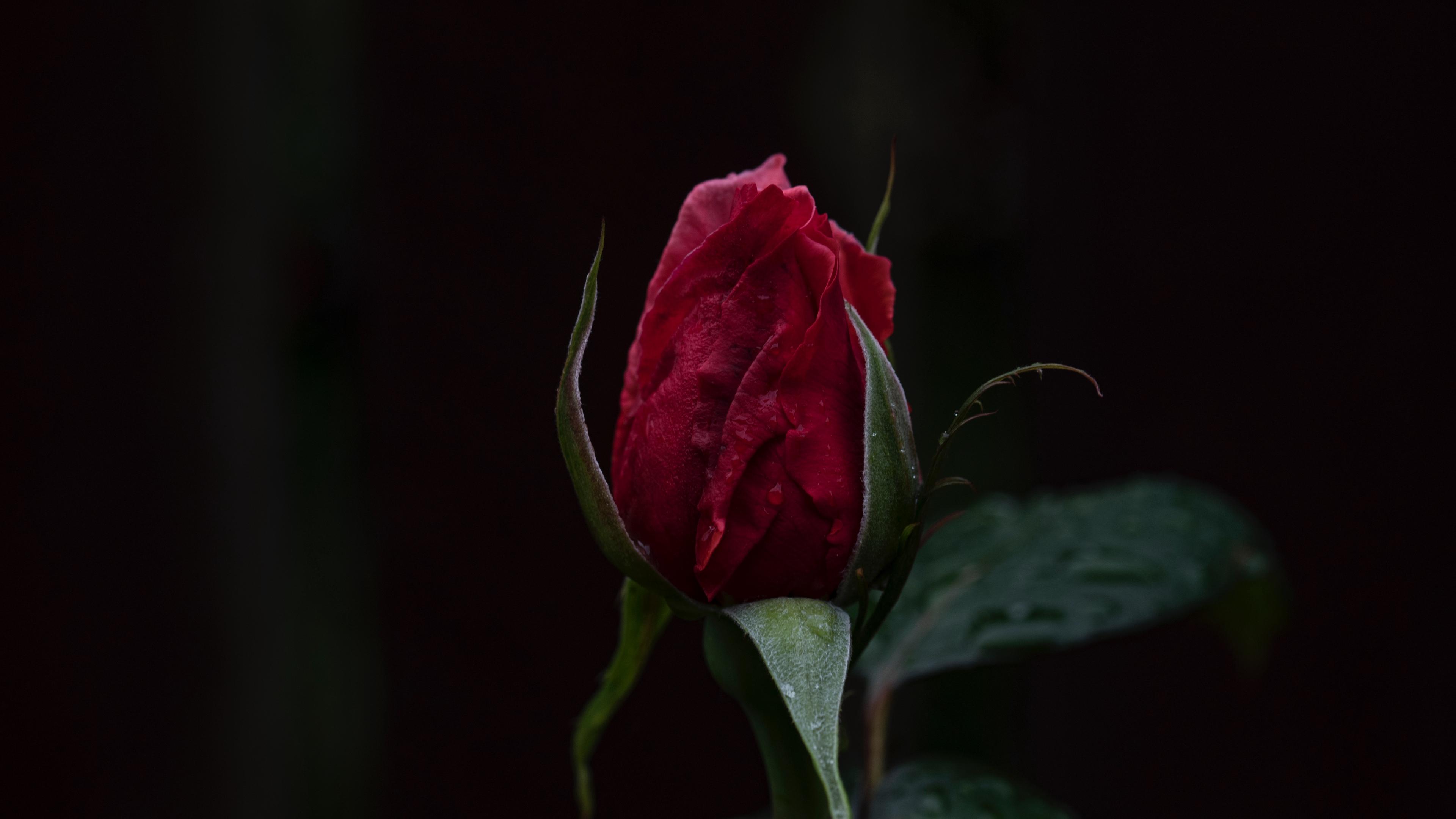 rose bud dark background 4k 1540574352 - rose, bud, dark background 4k - Rose, dark background, bud
