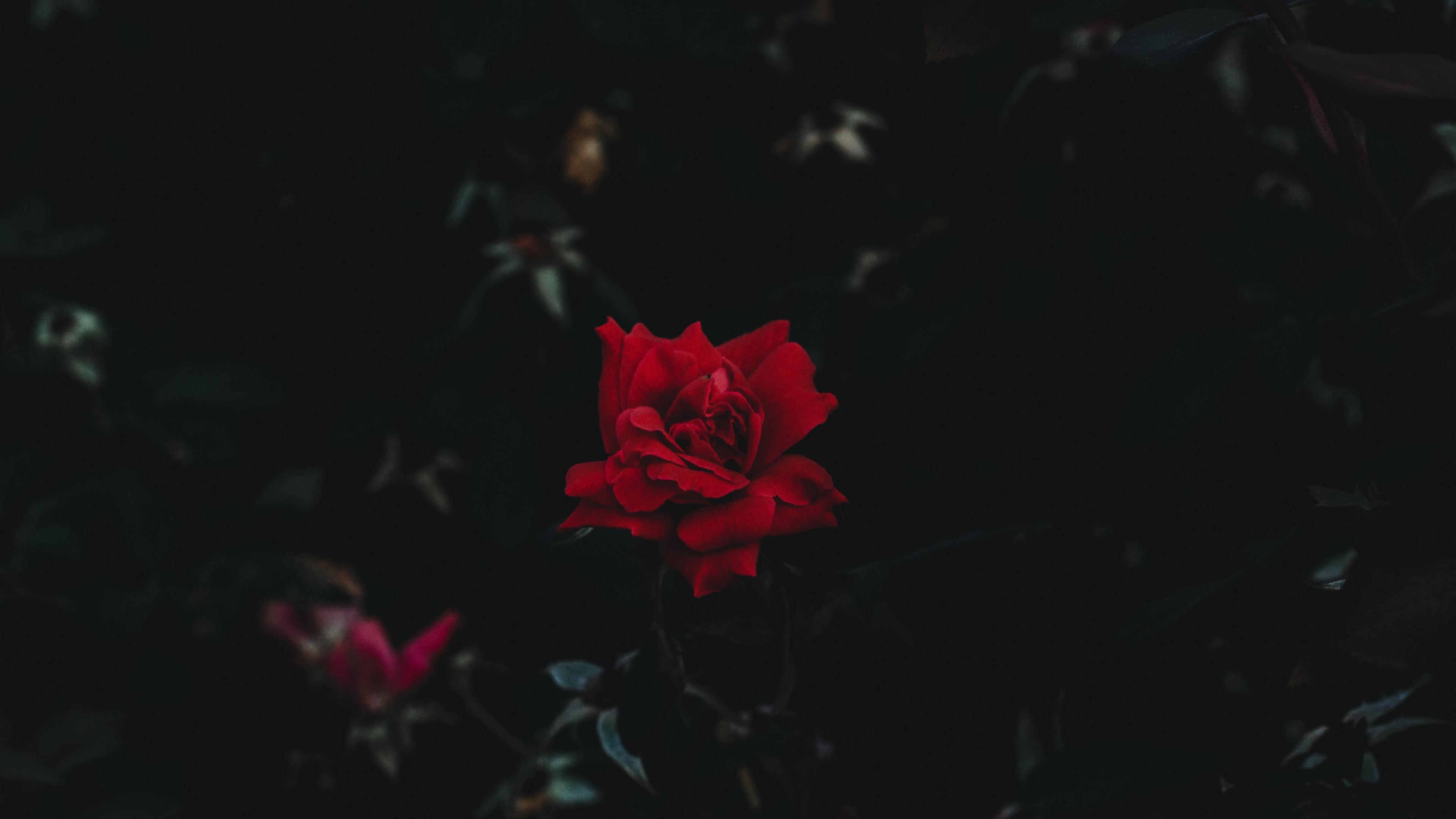 rose bud flower dark background 4k 1540575978 - rose, bud, flower, dark background 4k - Rose, flower, bud