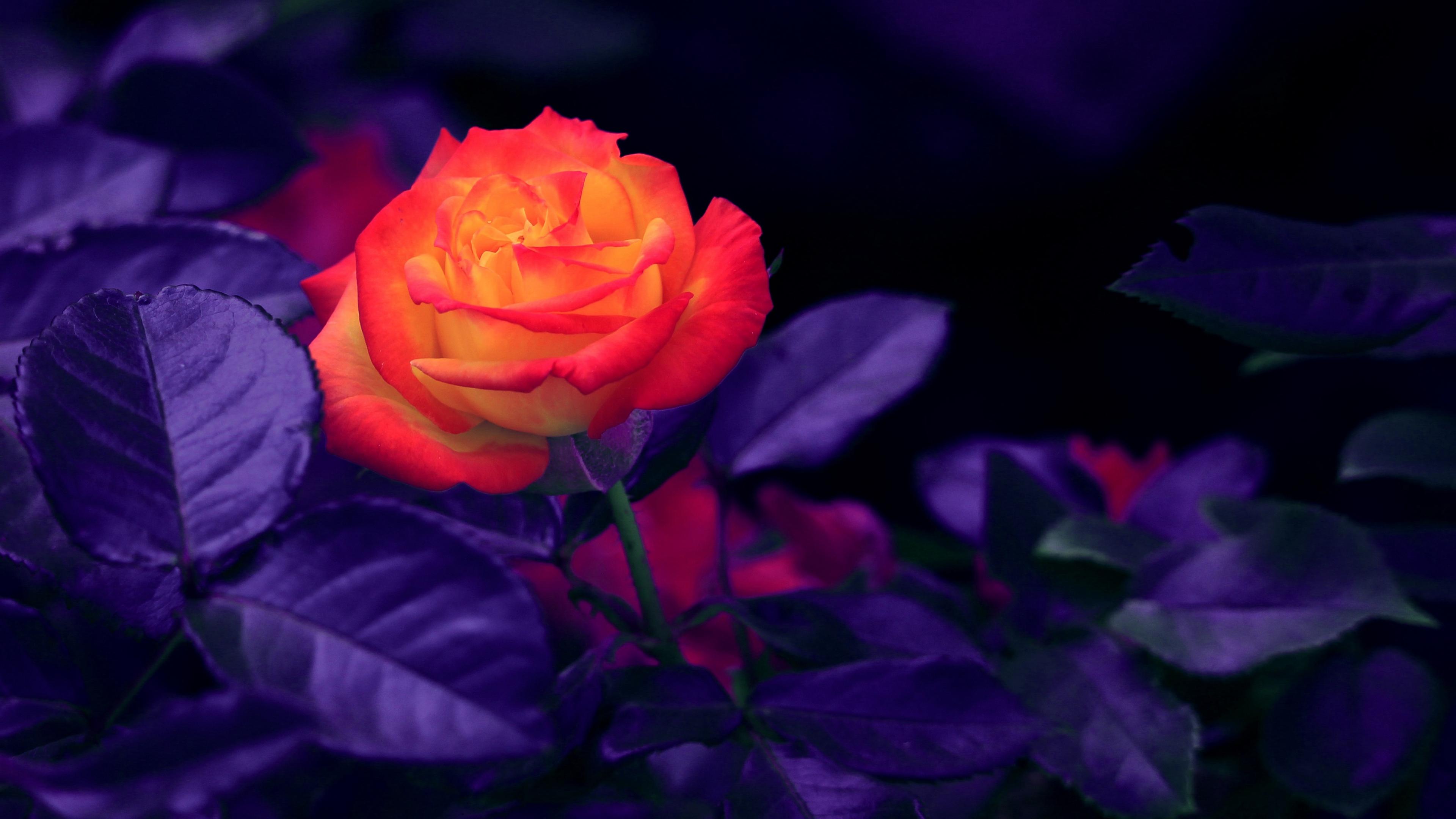 rose bud orange purple 4k 1540064908 - rose, bud, orange, purple 4k - Rose, orange, bud