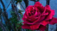 rose bud petals 4k 1540065151 200x110 - rose, bud, petals 4k - Rose, Petals, bud