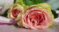 rose bud petals pink 4k 1540064173 200x110 - rose, bud, petals, pink 4k - Rose, Petals, bud