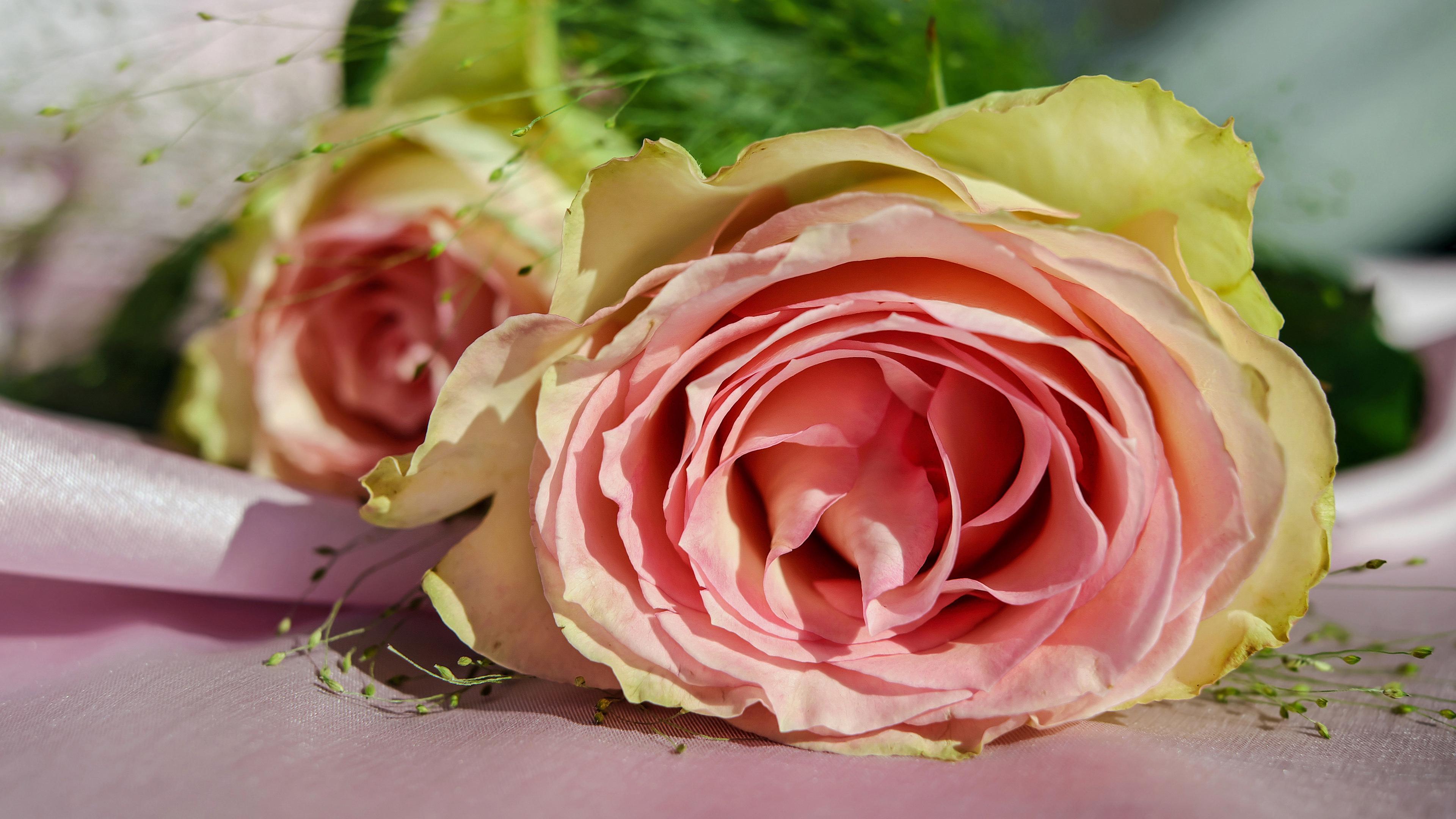 rose bud petals pink 4k 1540064173 - rose, bud, petals, pink 4k - Rose, Petals, bud