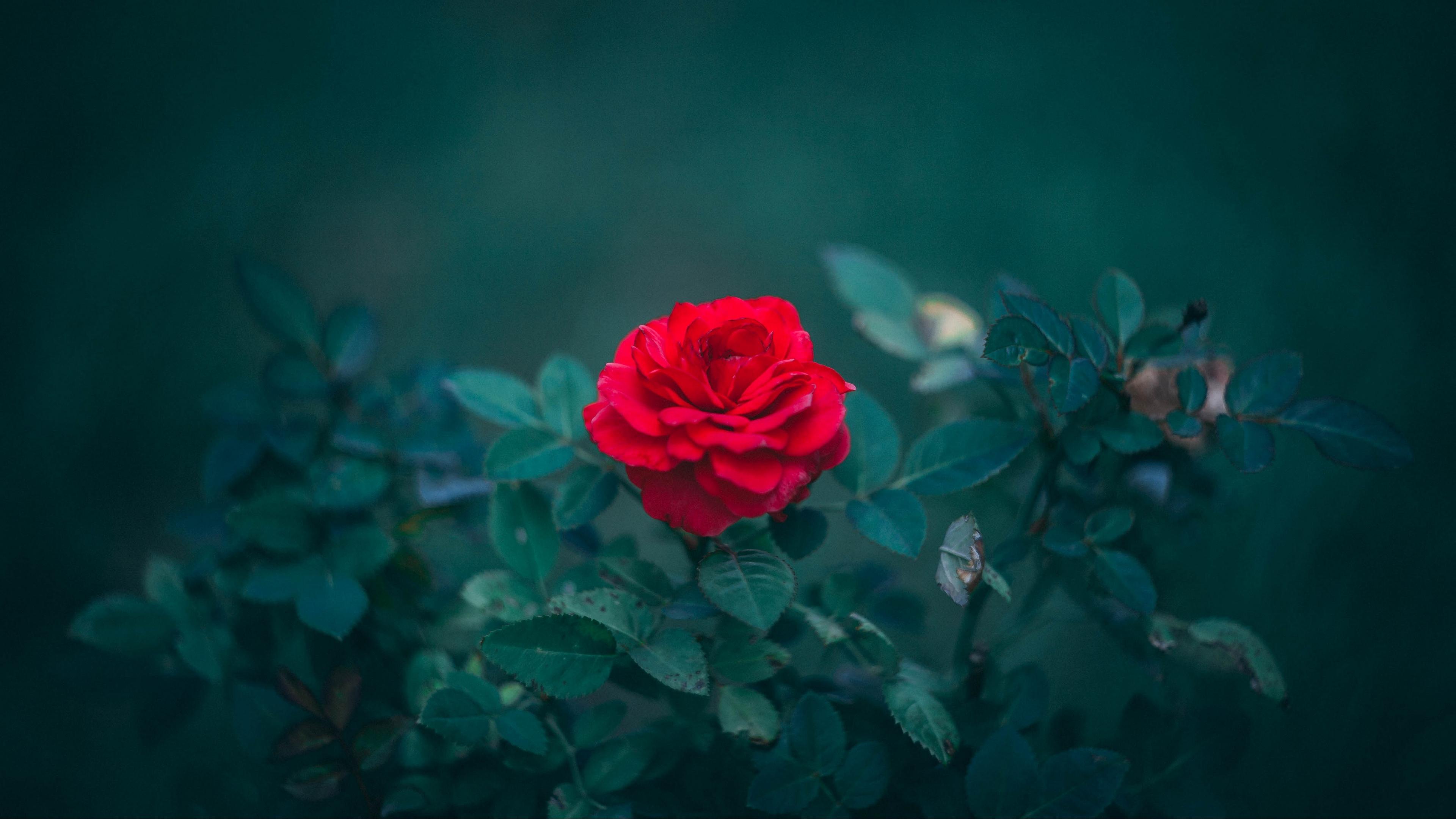 rose bud red bush blur leaves 4k 1540065248 - rose, bud, red, bush, blur, leaves 4k - Rose, red, bud