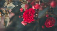 rose bush bloom garden red blur 4k 1540065163 200x110 - rose, bush, bloom, garden, red, blur 4k - Rose, Bush, Bloom