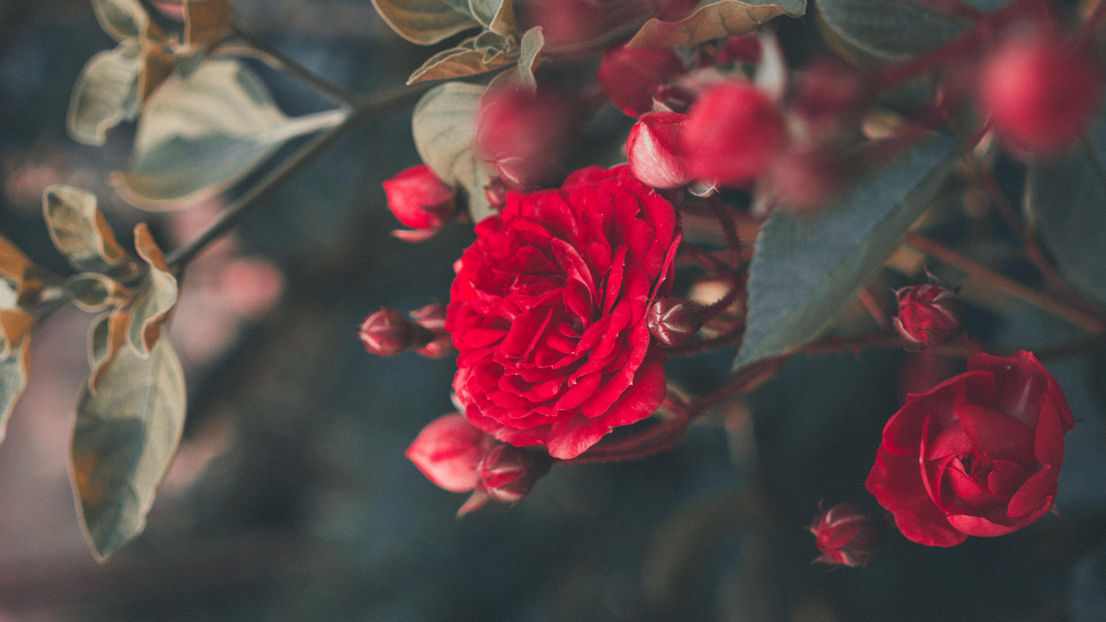 rose bush bloom garden red blur 4k 1540065163 - rose, bush, bloom, garden, red, blur 4k - Rose, Bush, Bloom