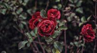 rose drops bud bush blur 4k 1540065246 200x110 - rose, drops, bud, bush, blur 4k - Rose, Drops, bud