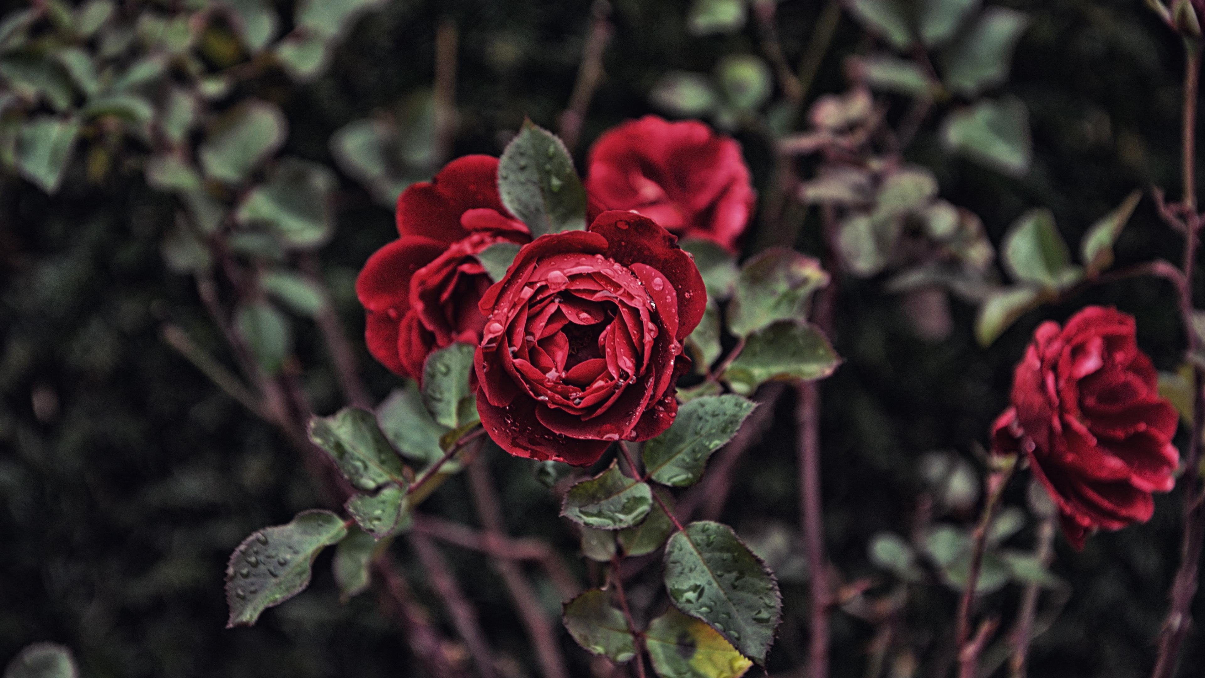 rose drops bud bush blur 4k 1540065246 - rose, drops, bud, bush, blur 4k - Rose, Drops, bud