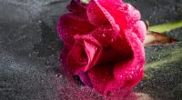 rose drops pink flower close up 4k 1540065030 200x110 - rose, drops, pink, flower, close-up 4k - Rose, Pink, Drops