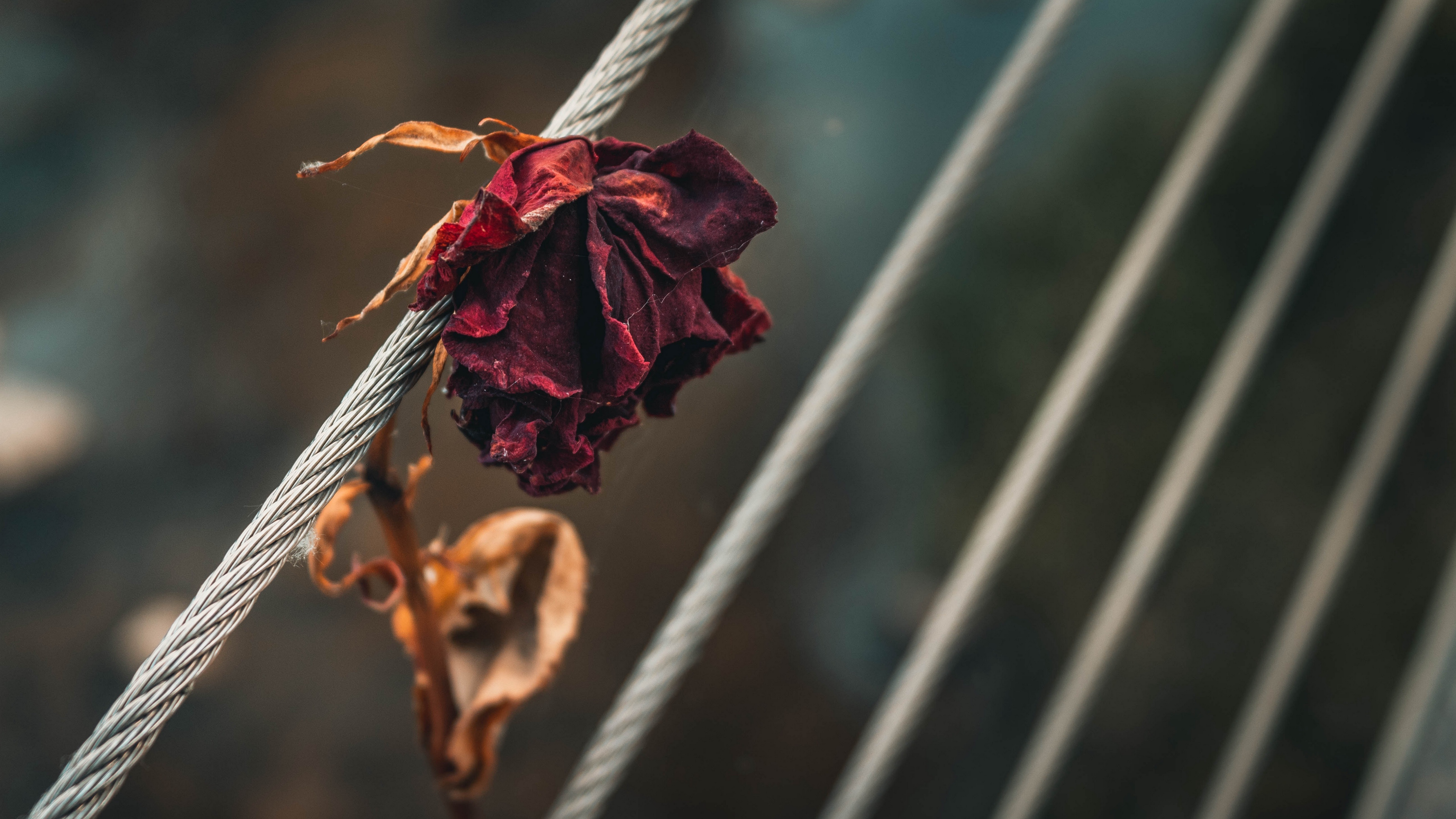 rose dry bud petals 4k 1540064157 - rose, dry, bud, petals 4k - Rose, dry, bud