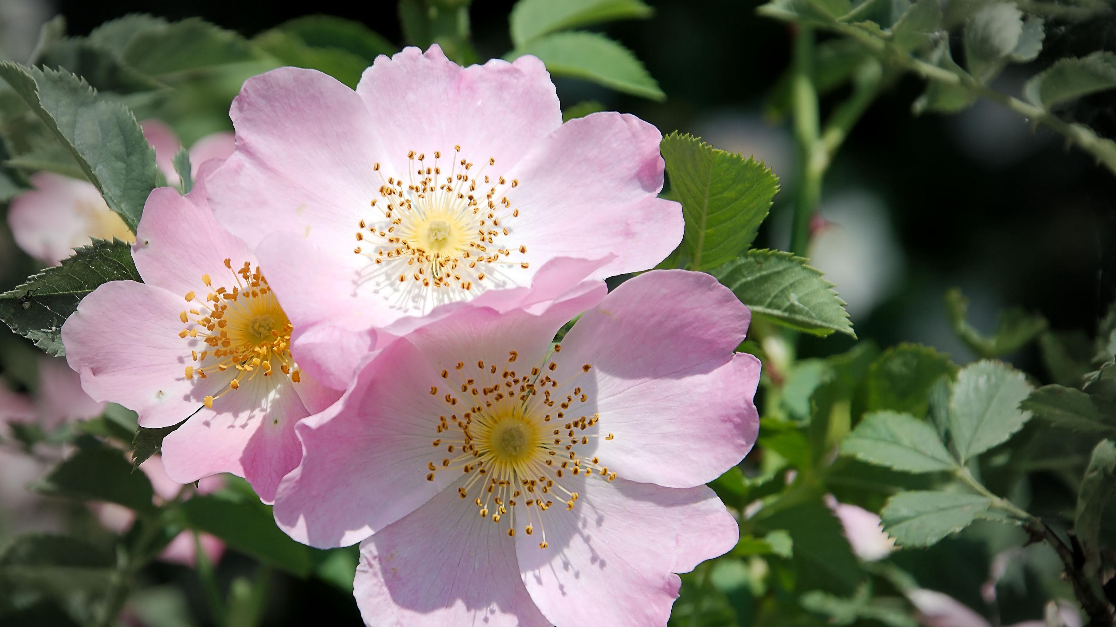 rose flower branch 4k 1540064727 - rose, flower, branch 4k - Rose, flower, branch