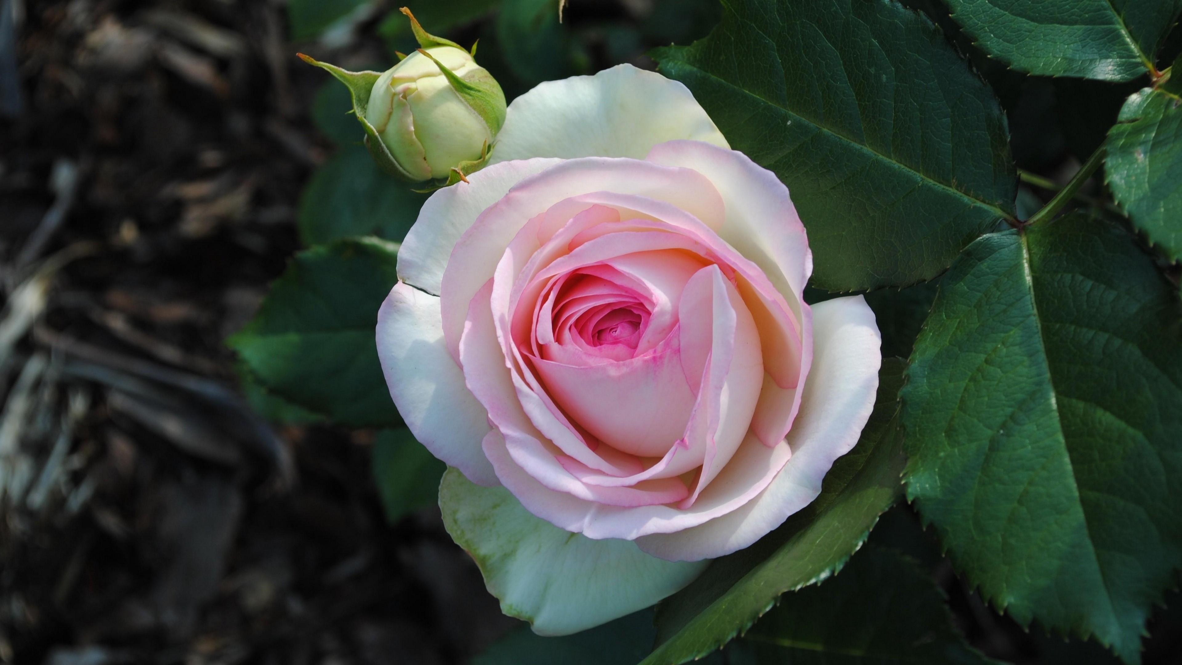 rose flower garden bud 4k 1540064177 - rose, flower, garden, bud 4k - Rose, Garden, flower