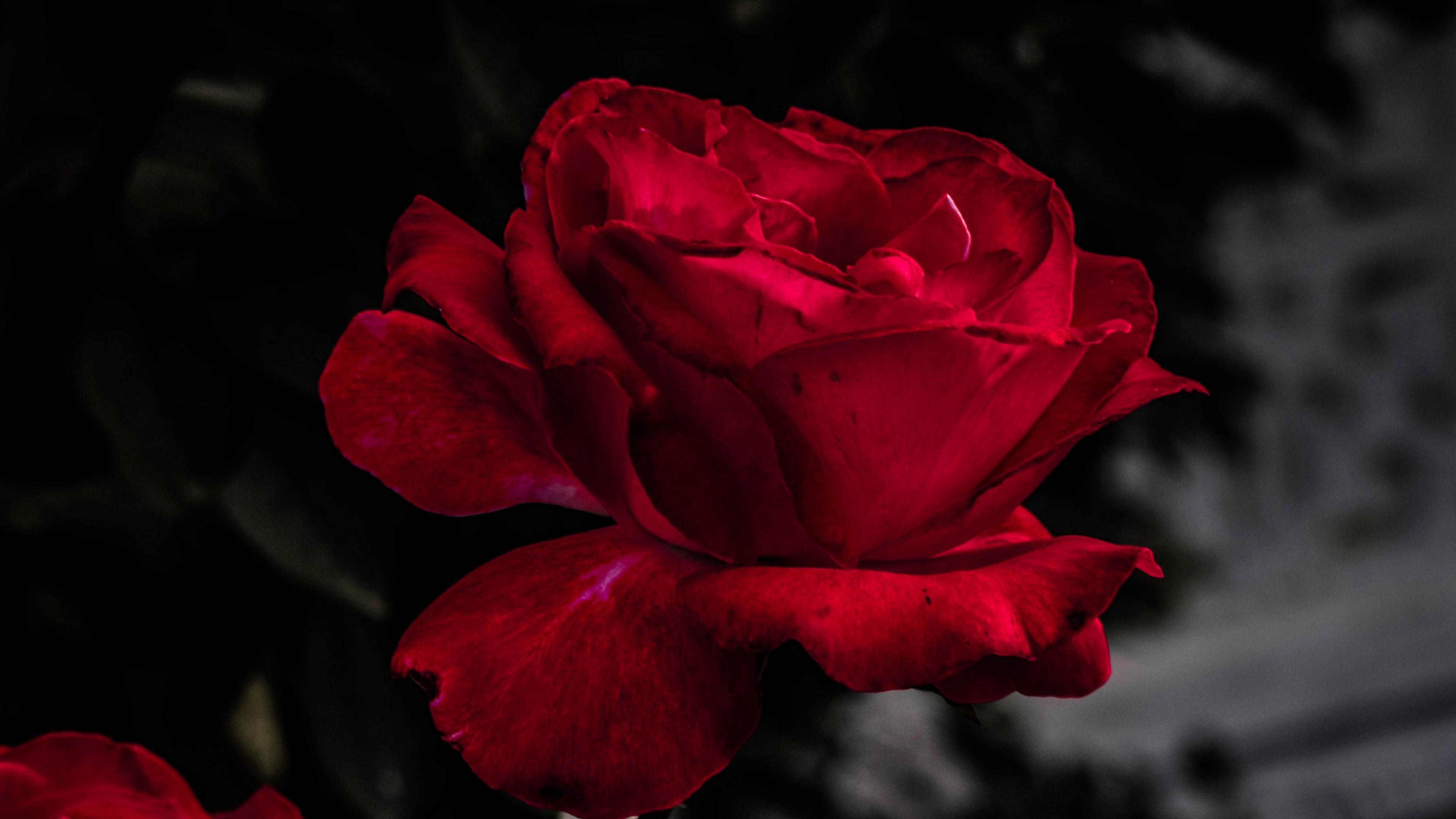 rose red bud bloom garden 4k 1540064906 - rose, red, bud, bloom, garden 4k - Rose, red, bud