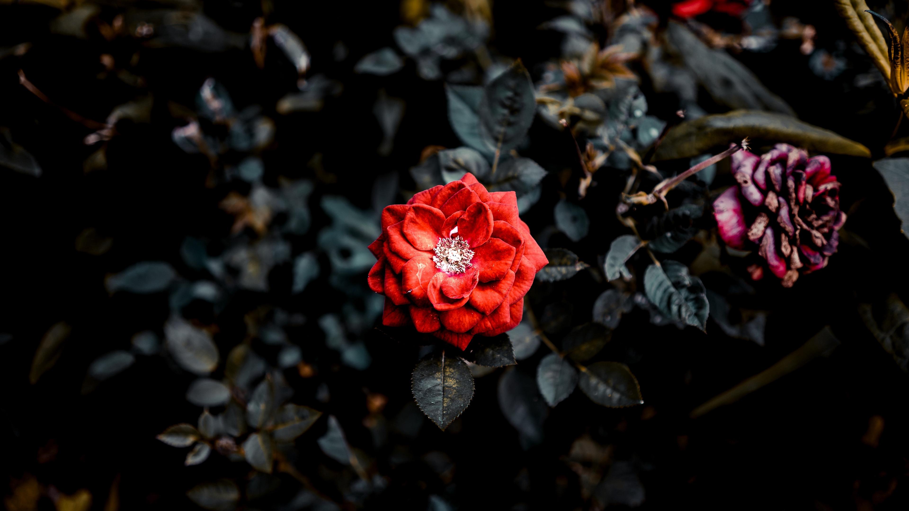 rose red bud bush garden 4k 1540064901 - rose, red, bud, bush, garden 4k - Rose, red, bud