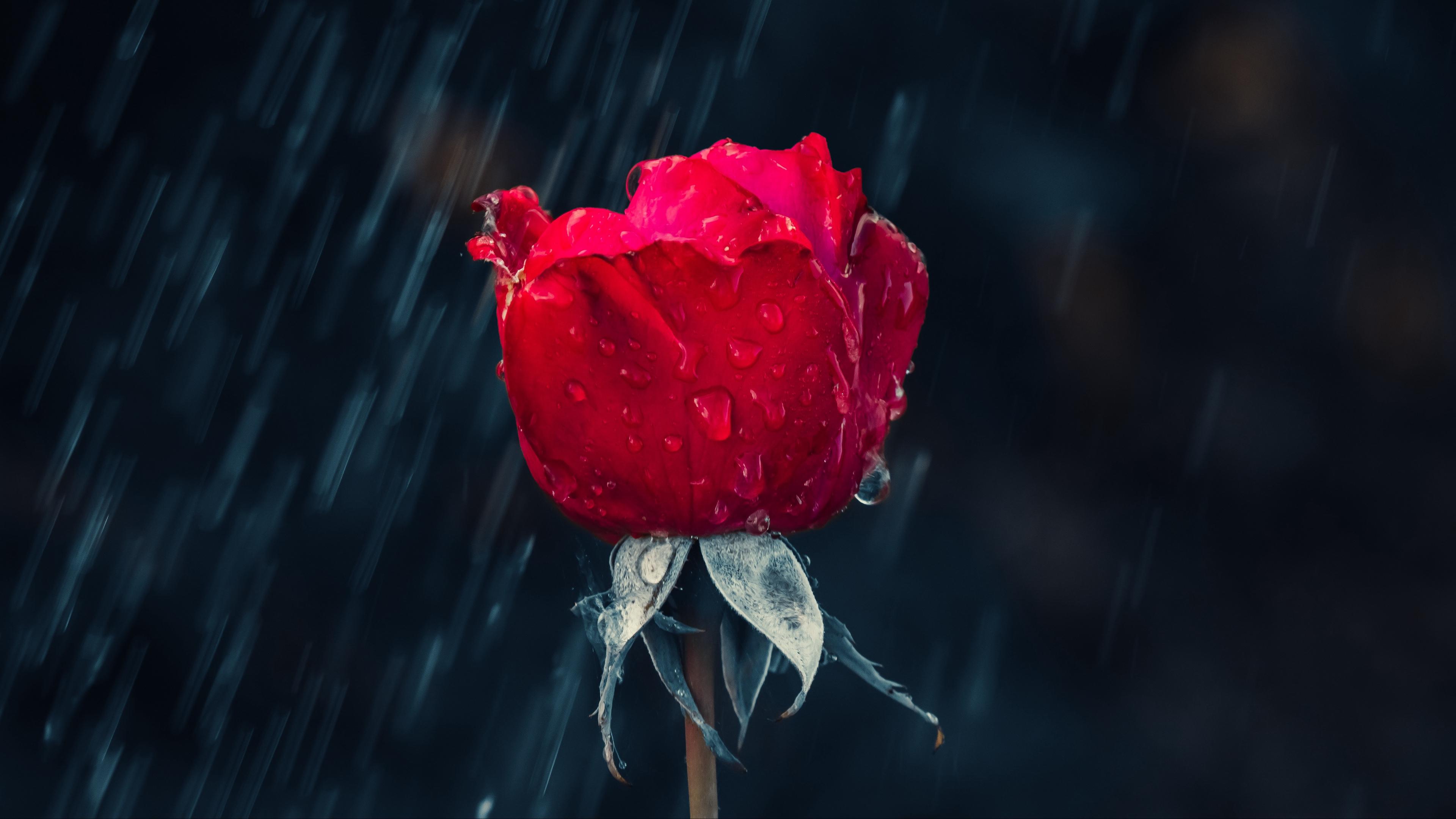 rose red bud drops rain moisture 4k 1540065145 - rose, red, bud, drops, rain, moisture 4k - Rose, red, bud