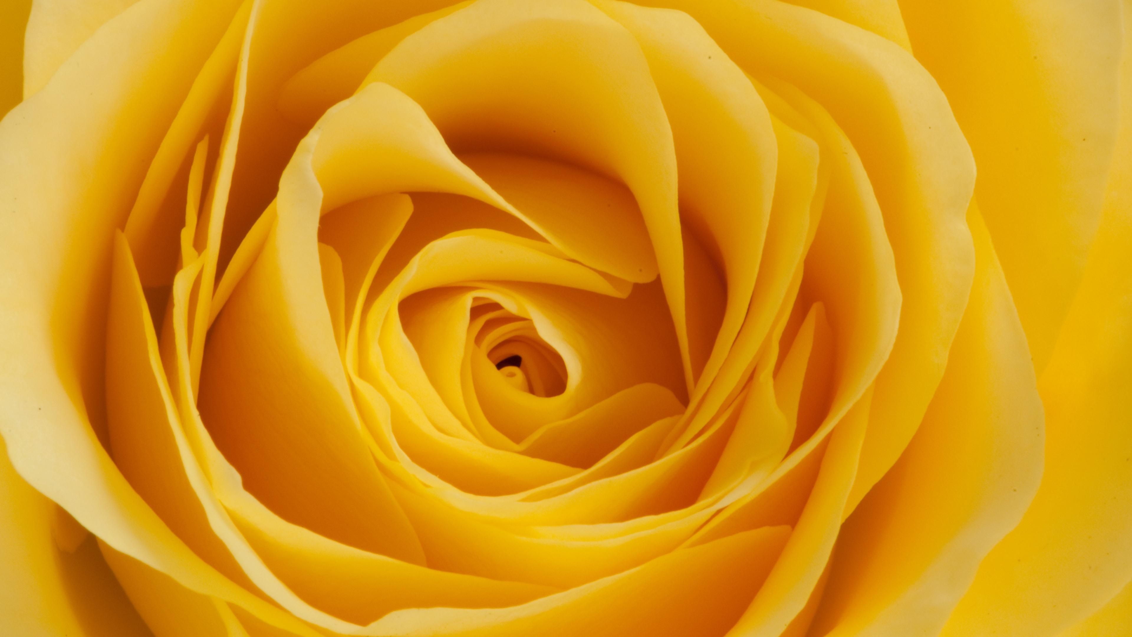 rose yellow bud petals macro 4k 1540065028 - rose, yellow, bud, petals, macro 4k - yellow, Rose, bud