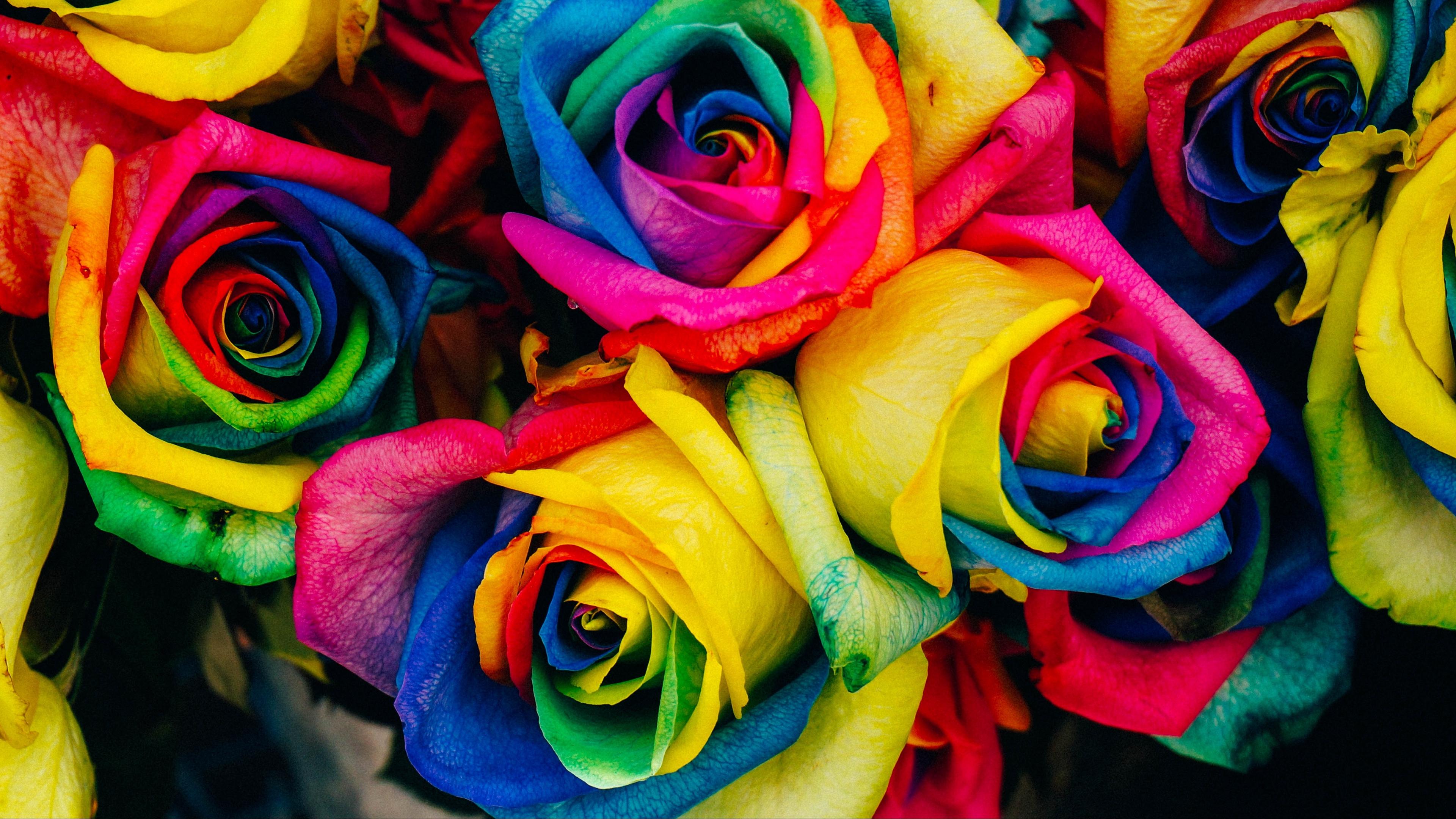 roses colorful rainbow 4k 1540064948 - roses, colorful, rainbow 4k - Roses, rainbow, Colorful