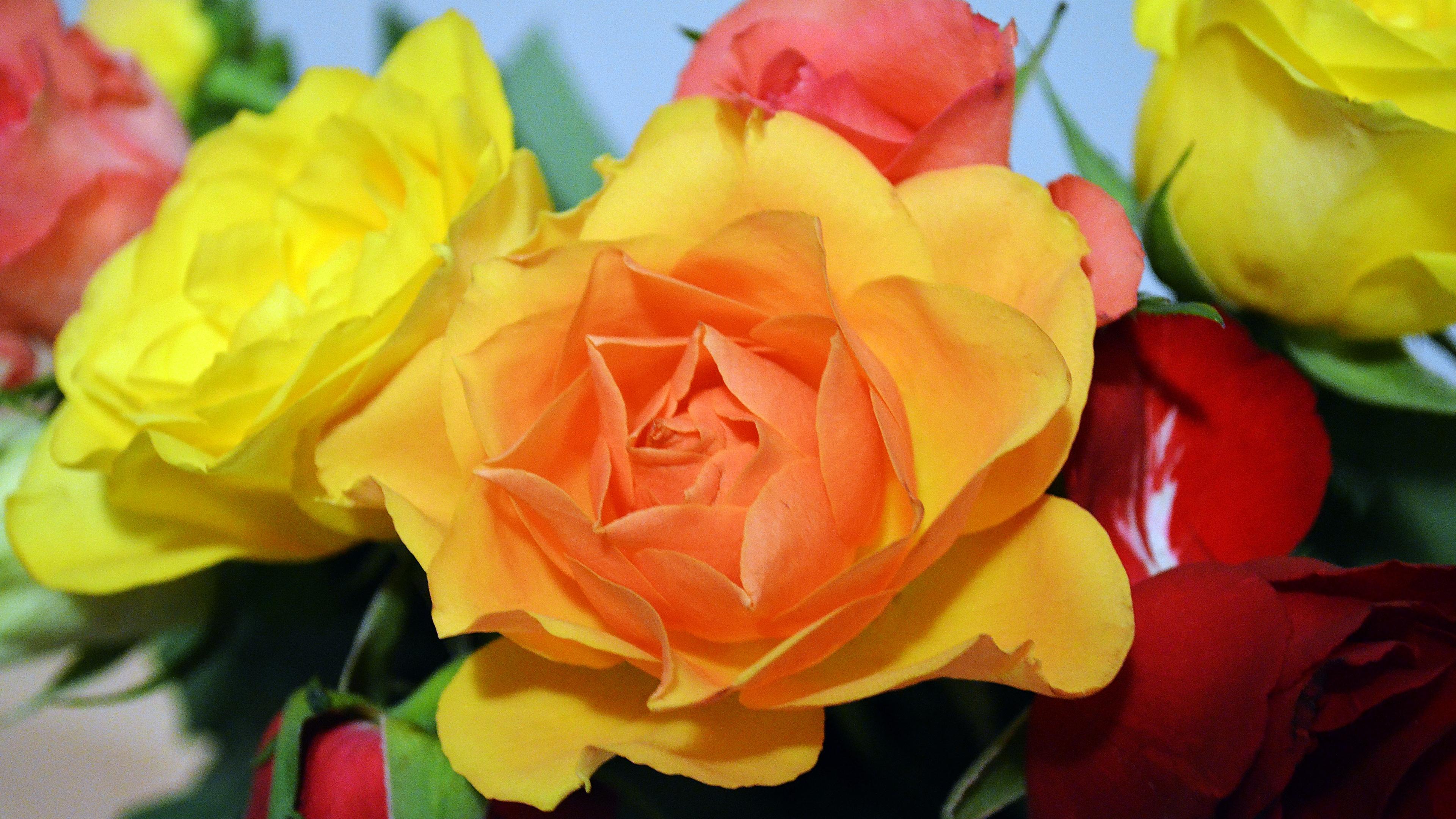 roses flower flowers 4k 1540064797 - roses, flower, flowers 4k - Roses, Flowers, flower