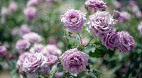 roses flowers garden blurring 4k 1540064295 200x110 - roses, flowers, garden, blurring 4k - Roses, Garden, Flowers