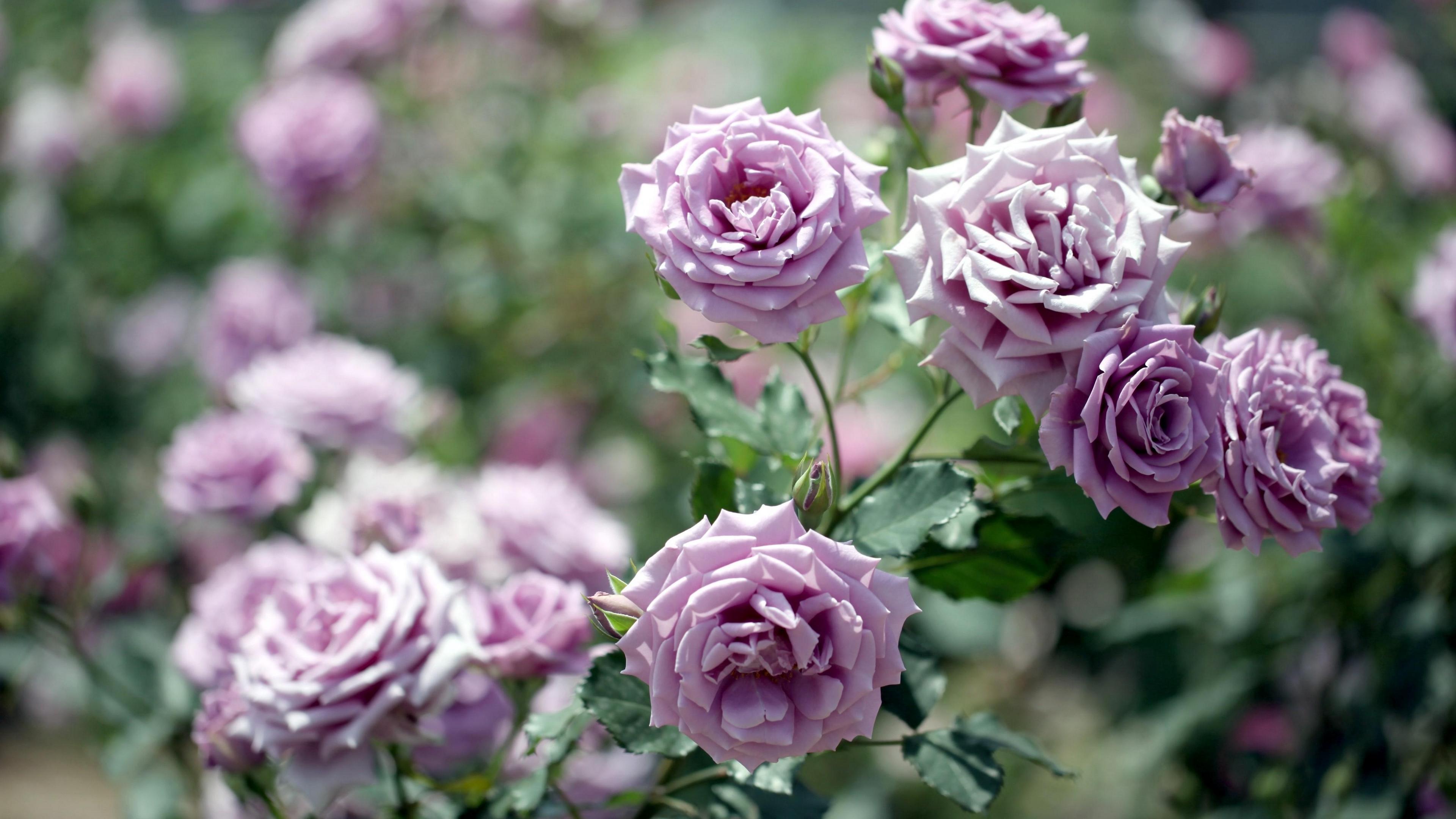 roses flowers garden blurring 4k 1540064295 - roses, flowers, garden, blurring 4k - Roses, Garden, Flowers