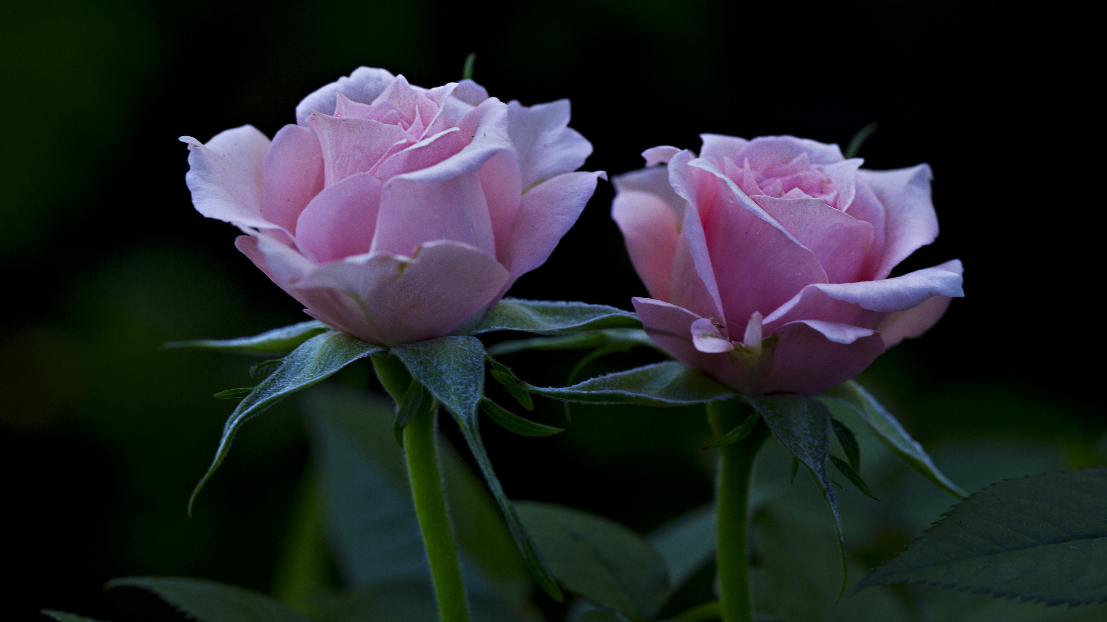 roses flowers petals buds 4k 1540064956 - roses, flowers, petals, buds 4k - Roses, Petals, Flowers