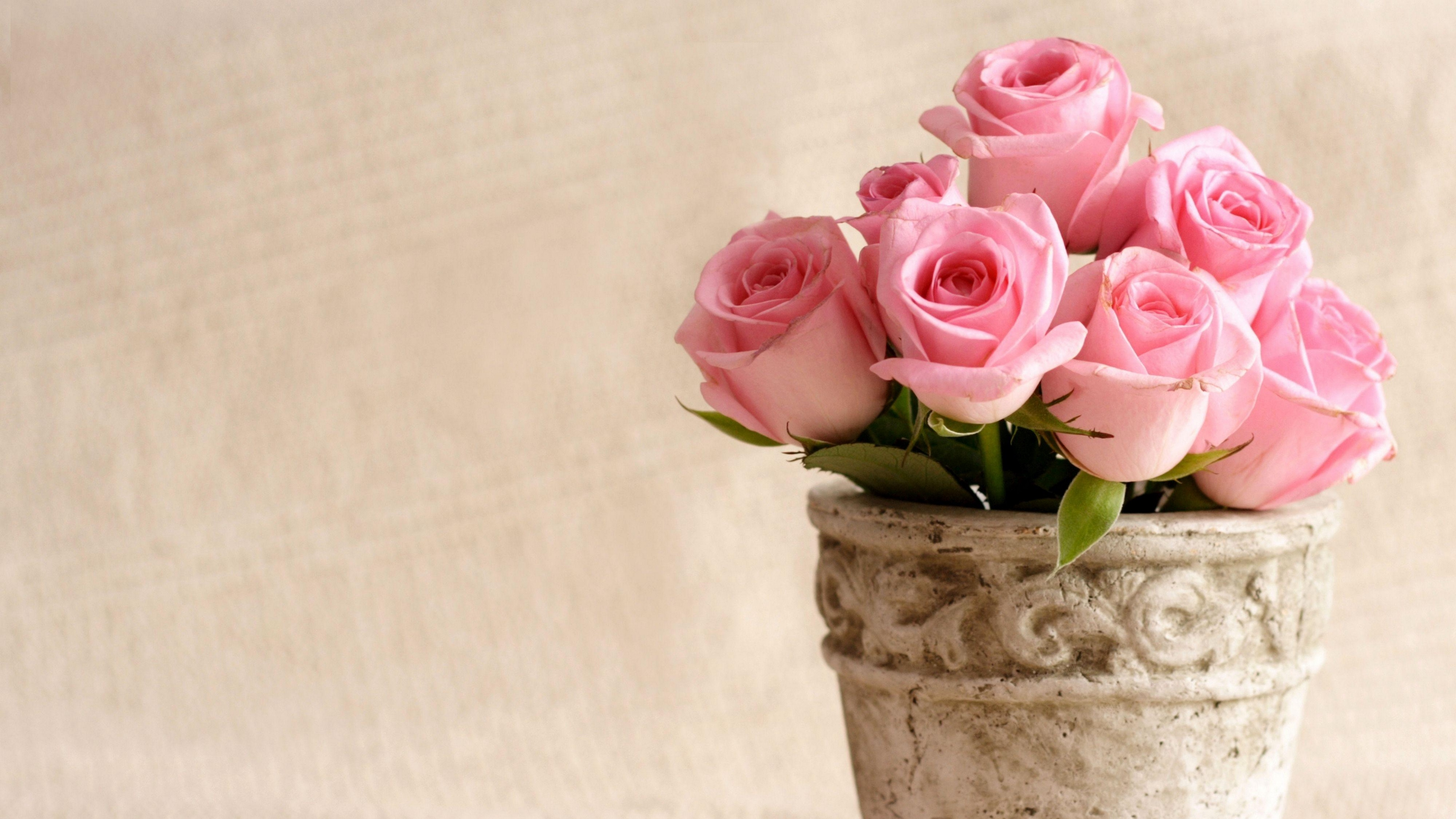 roses flowers pot petals 4k 1540065263 - roses, flowers, pot, petals 4k - Roses, pot, Flowers