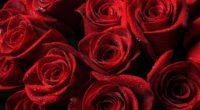 roses red drops petals 4k 1540065257 200x110 - roses, red, drops, petals 4k - Roses, red, Drops