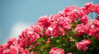 roses shrub sky sharpness beautiful 4k 1540065237 200x110 - roses, shrub, sky, sharpness, beautiful 4k - Sky, shrub, Roses