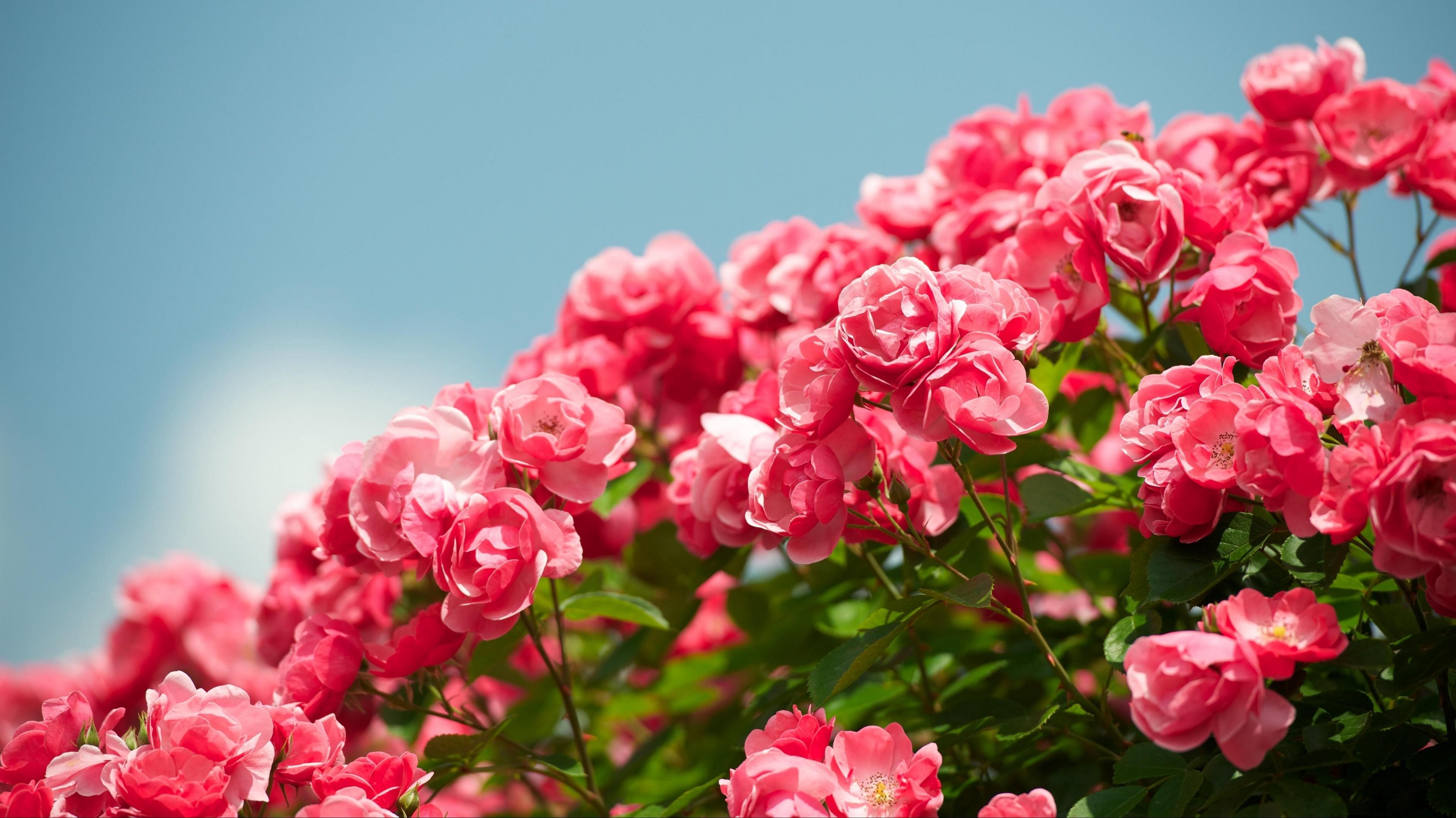 roses shrub sky sharpness beautiful 4k 1540065237 - roses, shrub, sky, sharpness, beautiful 4k - Sky, shrub, Roses