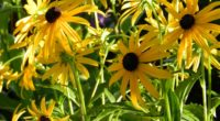 rudbeckia flowerbed close up sharpness 4k 1540064197 200x110 - rudbeckia, flowerbed, close up, sharpness 4k - Rudbeckia, flowerbed, close-up